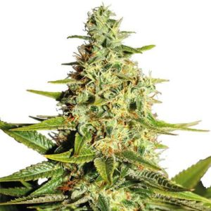 Afghan Feminized Cannabis Seeds