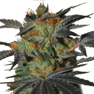 Agent Orange Feminized Cannabis Seeds