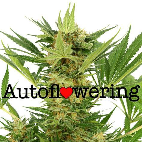 AK-47 Auto Flowering Cannabis Seeds