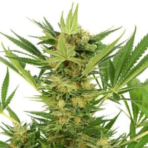 AK-47 Feminized Cannabis Seeds