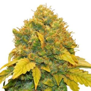 Banana Kush Feminized Cannabis Seeds