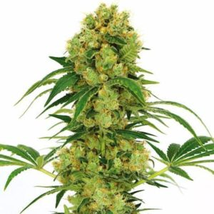Bug Bud Feminized Cannabis Seeds