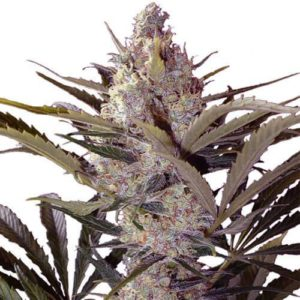 Black Widow Feminized Cannabis Seeds