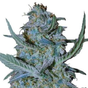 Blue Cheese Feminized Cannabis Seeds