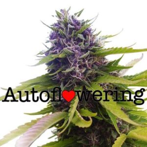 Blueberry Auto Flowering Cannabis Seeds