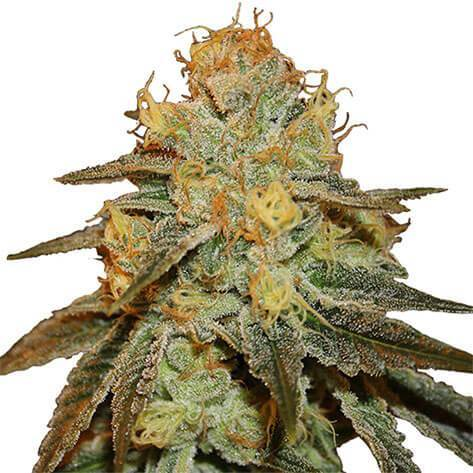 Bruce Banner Feminized Cannabis Seeds