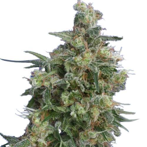 Bubba Kush Feminized Cannabis Seeds