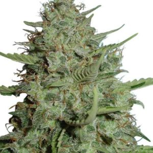 California Dream Feminized Cannabis Seeds