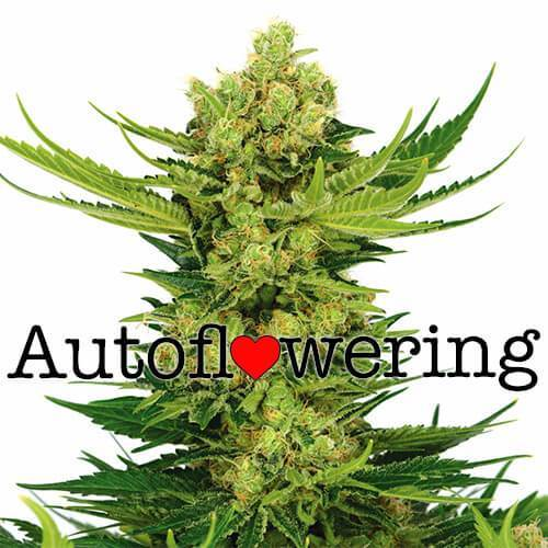 Cheese Auto Flowering Cannabis Seeds