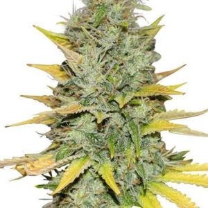 Gold Leaf Feminized Cannabis Seeds