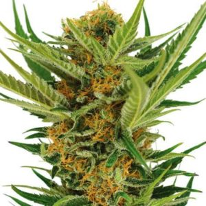 Jack Herar Feminized Cannabis Seeds