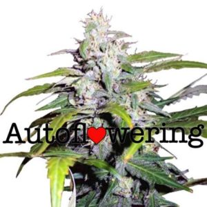 Lowryder Auto Flowering Cannabis Seeds