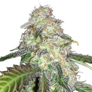 LSD Feminized Cannabis Seeds