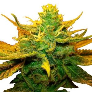 Mango Kush Feminized Cannabis Seeds
