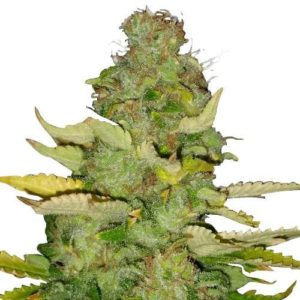 Maui Wowie Feminized Cannabis Seeds