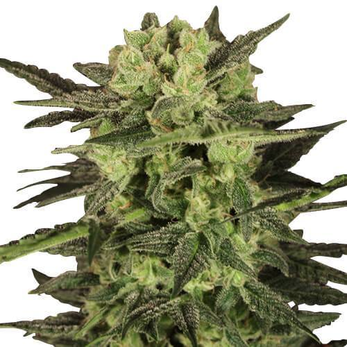 MK Ultra Feminized Cannabis Seeds