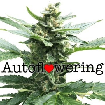 Northern Lights Auto Flowering Cannabis Seeds