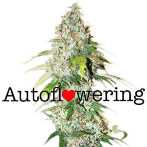 OG Kush Auto Flowering Cannabis Seeds