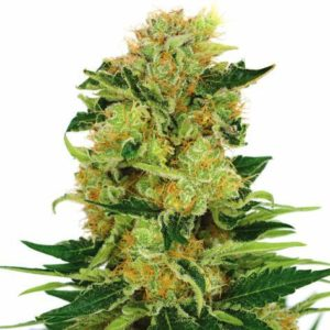 Pineapple Haze Feminized Cannabis Seeds