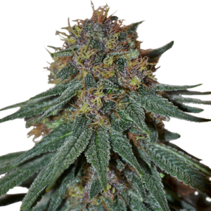 Purple Haze Feminized Cannabis Seeds