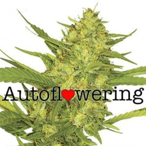 Sour Diesel Auto Flowering Cannabis Seeds