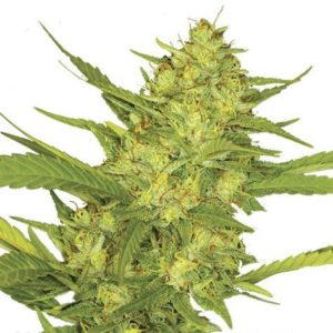 Sour Diesel Feminized Cannabis Seeds