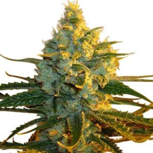 Super Lemon Haze Feminized Cannabis Seeds