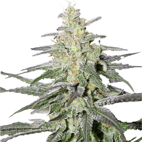 Super Silver Haze Feminized Cannabis Seeds