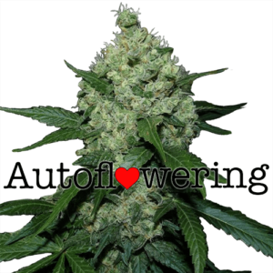Super Skunk Auto Flowering Cannabis Seeds