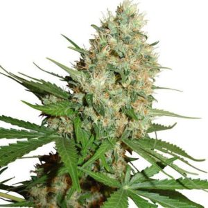 Trainwreck Feminized Cannabis Seeds