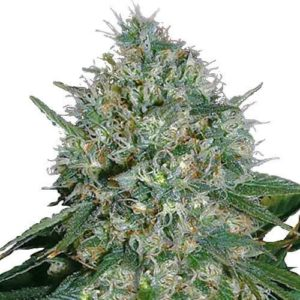 White Rhino Feminized Cannabis Seeds