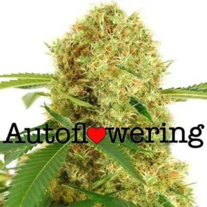 White Widow Auto Flowering Cannabis Seeds