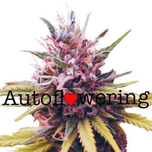 Zkittles Auto Flowering Cannabis Seeds